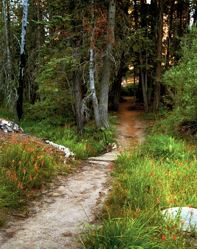 The trail to Champion Lodgepole Pine.  This short three to four minute walk is well worth it, and it will give everyone a chance to stretch their legs. © Rick Keppler.