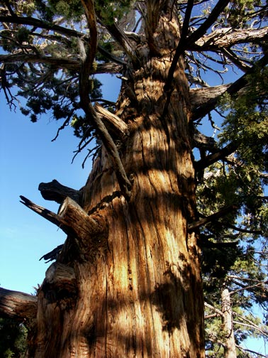 This Western Juniper existed hundreds of years ago when the Serrano Indians once populated Big Bear Valley. © Rick Keppler