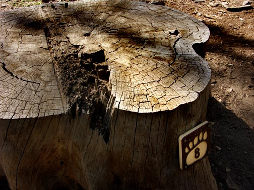 Counting the rings on this stump tells us that this tree lived for 351 years.